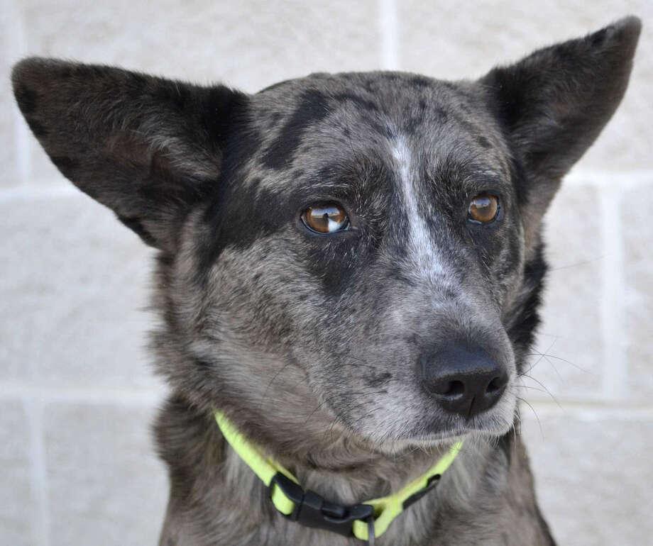 Jasmine is a 2-year-old Australian Cattledog mix.