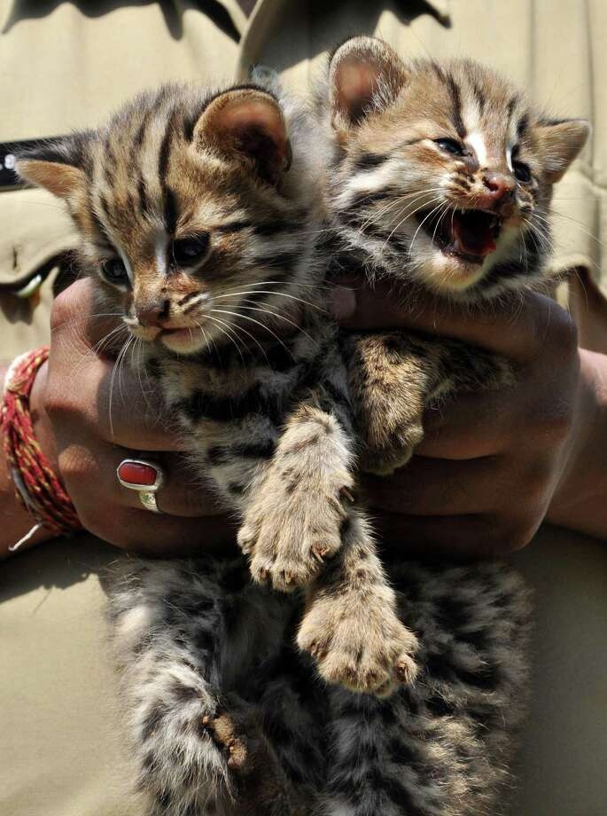 An Indian police official holds a pair of leopard cat cubs, which have been rescued from the Chandmari Area of Guwahati on May 4, 2013. The leopard cat (Prionailurus bengalensis) is a small, carnivorous mammal that looks like a domestic cat with a leopard-like coat, and while not on endangered lists is threatened by habitat loss and hunting in parts of its range which extends across south and east Asia. AFP PHOTO/Biju BORO Photo: BIJU BORO, AFP/Getty Images / AFP