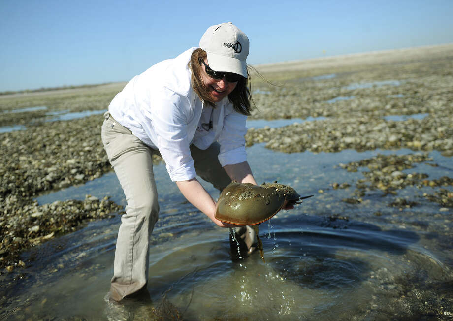 Sacred Heart University professor Jennifer Mattei scoops a mating pair of horseshoe crabs from a tidal pool on Milford Point in Milford on Wednesday, May 1, 2013. The university is now collaborating on research with Mystic Aquarium's Sea Research Foundation. Photo: Brian A. Pounds / Connecticut Post