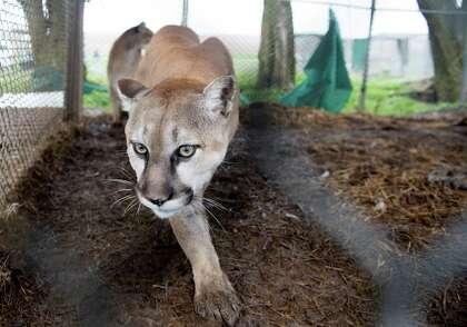 Neglected big cats headed for Texas sanctuaries