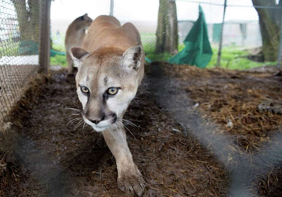 This mountain lion was among the animals seized by the Humane Society in Atchison, Kan. Photo: Kathy Milani, HOEP / Humane Society of the United Sta