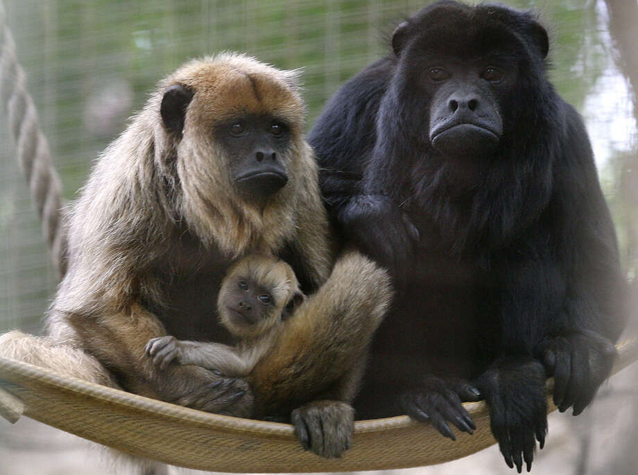 Sophie and Inti, a pair of howler monkeys known for their loud howls, relax with their baby, born on April 13, at the San Antonio Zoo's Amazonia section. Sophie and Inti arrived at the zoo in February 2012. Photo: Cynthia Esparza / For The San Antonio Express-News