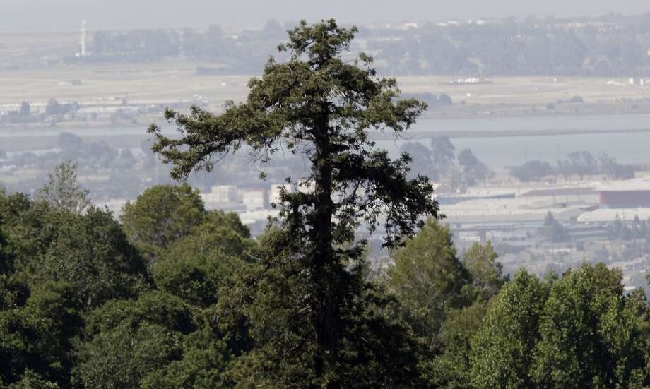 The last known old growth redwood tree in the Oakland, Calif., on Friday May 3, 2013, the tree rises ninety three feet above Lion Canyon near Merritt College. A visit to the Oakland Hills to discover the last remnants of the Blossom Rock trees and the old growth landmark redwoods that once guiding sailing ships through San Francisco Bay, as a navigation reference point.