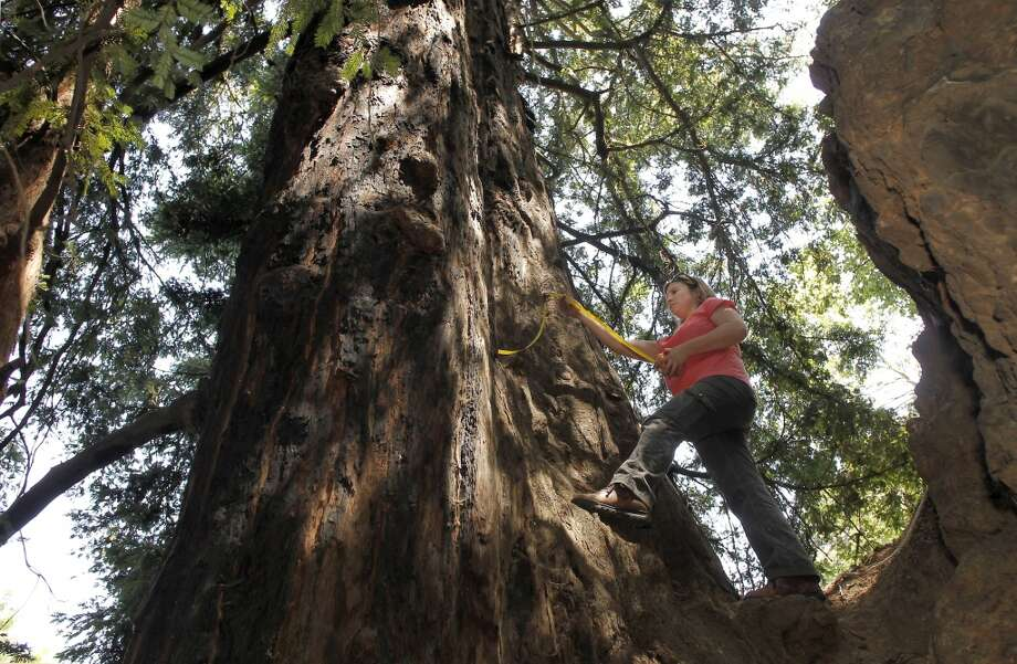 Emily Burns, Science director for the Save the Redwoods League, measures the diameter of the last know old growth redwood tree in the Oakland, Calif., on Friday May 3, 2013. The tree rises ninety three feet above Lion Canyon near Merritt College. A visit to the Oakland Hills to discover the last remnants of the Blossom Rock trees and the old growth landmark redwoods that once guiding sailing ships through San Francisco Bay as a navigation reference point.