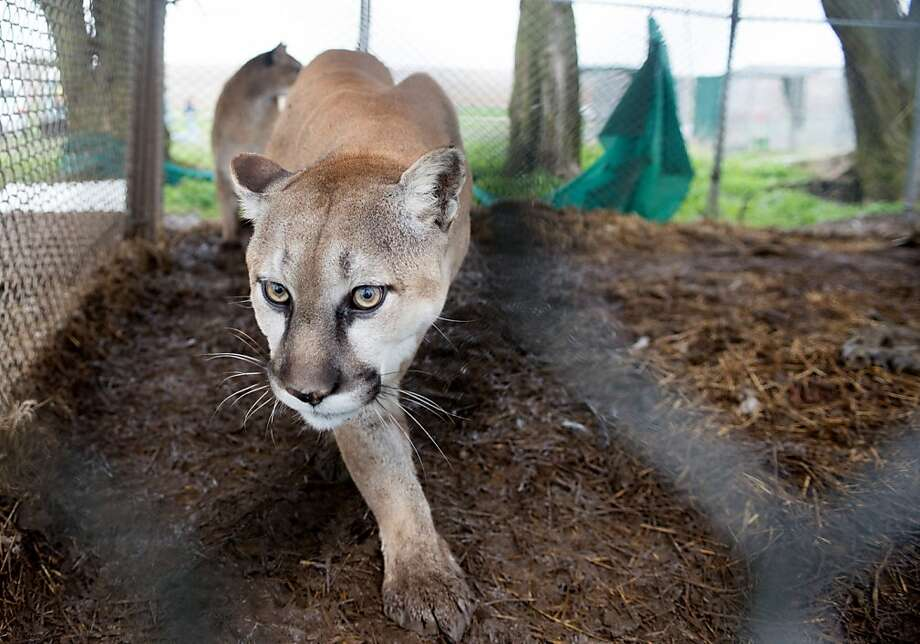 Cruel captivity for big cats: An underfed mountain lion paces in its chain-link cage on a property in Atchison, Kan. Authorities seized a tiger, two cougars, three bobcats, two lynx, one serval and two skunks living in inadequate enclosures littered with feces. The owner has been cited with animal cruelty and other violations. Photo: Kathy Milani, Associated Press