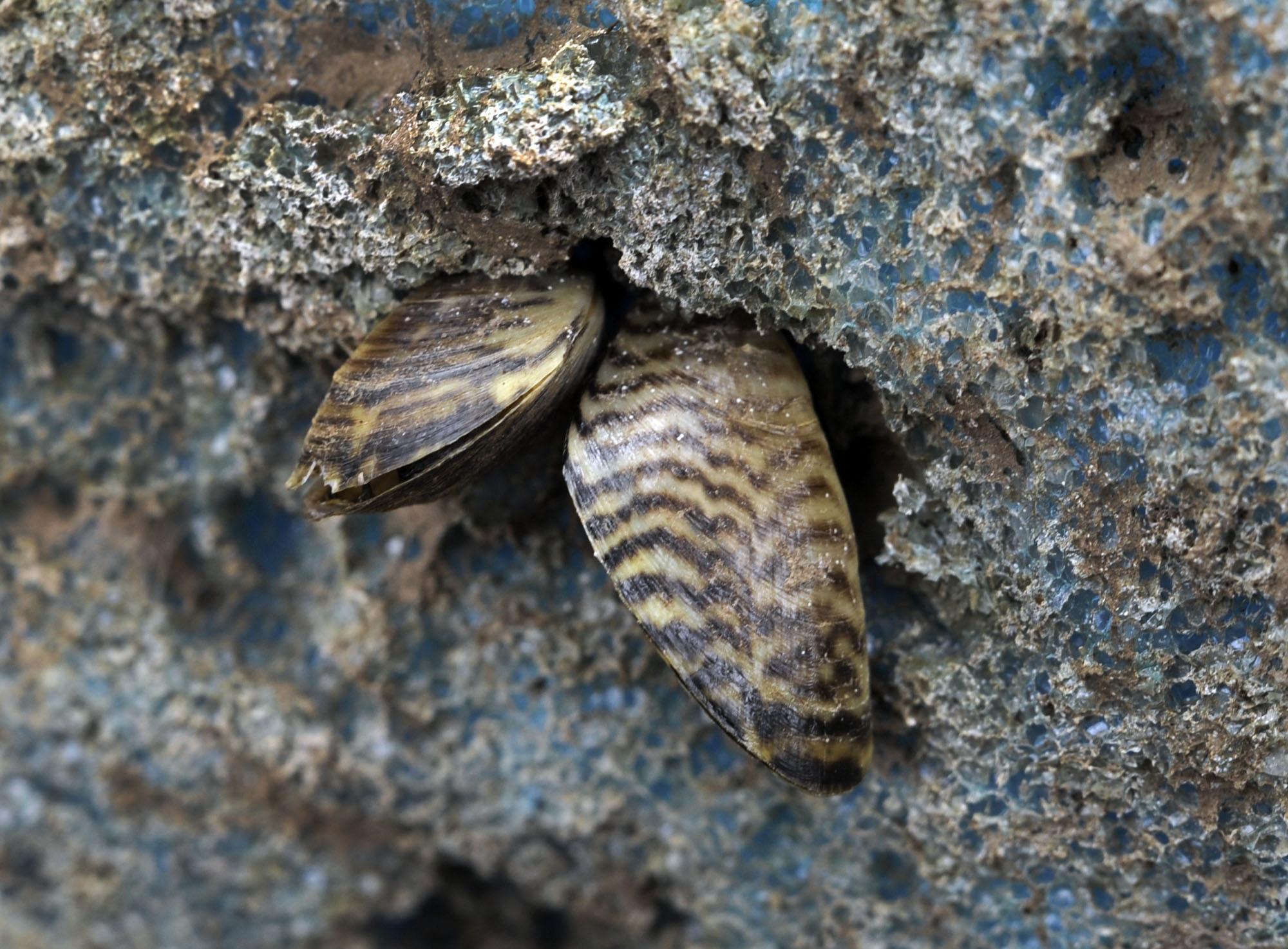 Attacking invasive zebra mussels upstream - NewsTimes