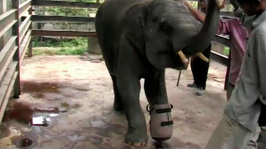"Still frame from ""The Story of Chhouk"" - 2009 from Wildlife Alliance PLUS 9 months ago NOT YET RATED ""Learn about Chhouk, our elephant with the prosthetic foot, how he was rescued and how the Cambodian School of Prosthetics and Orthotics created his foot."" http://vimeo.com/46107422 Photo: Wildlife Alliance / http://vimeo.com/46107422"