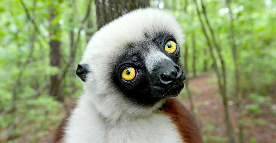 "Yes, I have had my coffee today. Why do you ask?Joviana the Coquerel's Sifaka lemur poses during a media tour at the Duke Lemur Center in Durham, N.C. Joviana was the inspiration for the Kratt Brothers' character Zoboo on the PBS children's show ""Zoboomafoo."" Photo: Chuck Liddy, McClatchy-Tribune News Service"