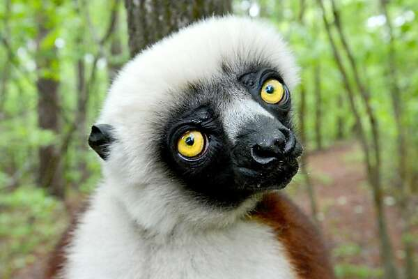 "Joviana, a lemur, gazes at the camera during a media tour at the Duke Lemur Center in Durham, North Carolina, Tuesday, May 7, 2013. The lemur was the inspiration for the Kratt Brothers' (Chris and Martin), talking Coquerel's Sifaka, 'Zoboo' on the PBS children's show ""Zoboomafoo""."