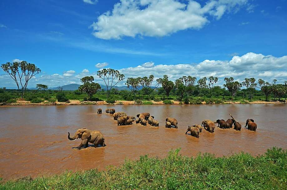 Elephants cross the Ewaso Nyiro River in the Samburu game reserve in Kenya. Photo: Carl De Souza, AFP/Getty Images
