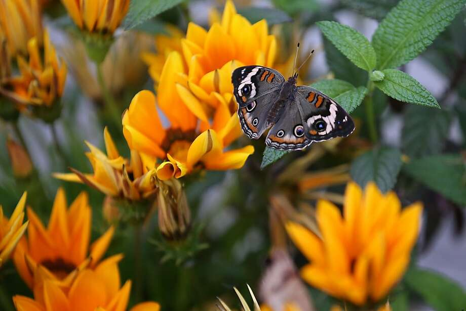 "A Buckeye butterfly flits over a flower in the ""Butterflies and Blooms"" exhibit at the 