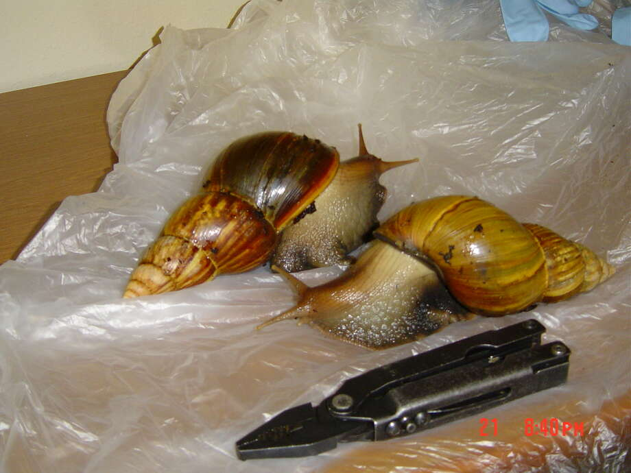 GIANT SNAILS.     HOUCHRON CAPTION (04/28/2004): Giant African land snails,  are illegal in the United States. The palm-size pests reproduce rapidly and can transmit meningitis.