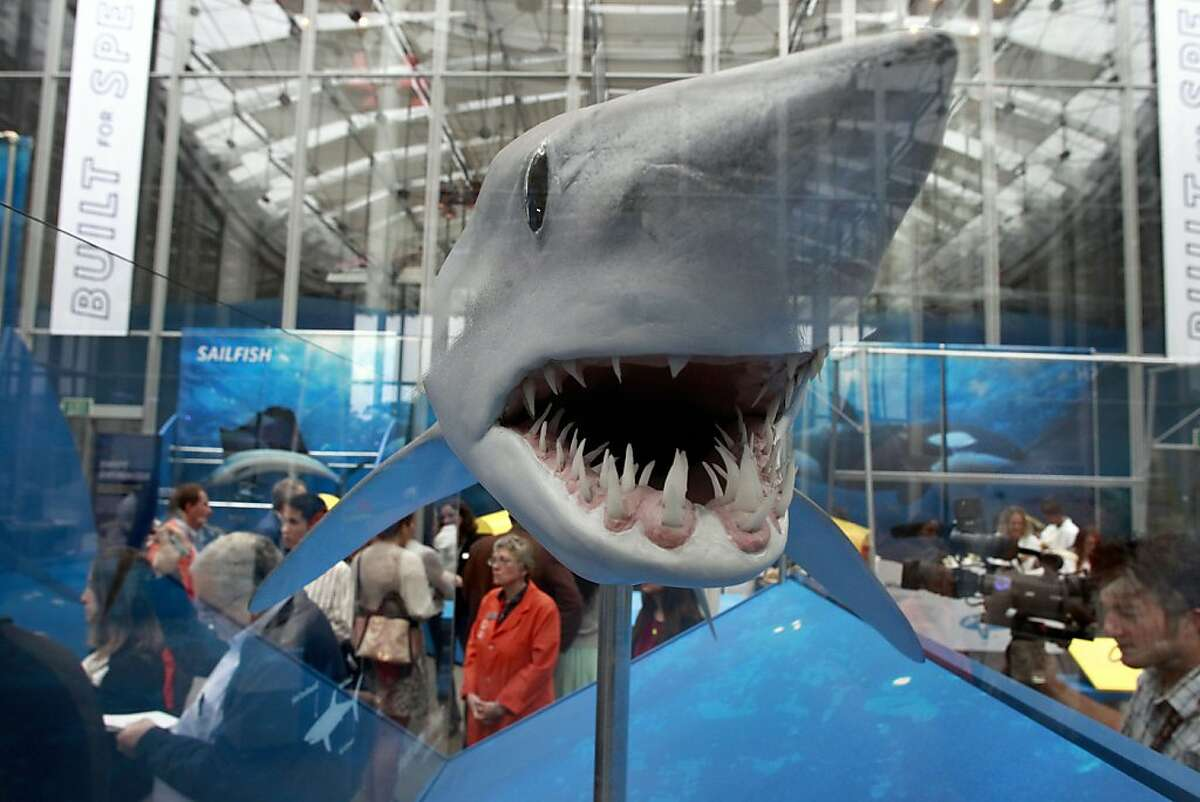 """A model of a Mako Shark on display at the California Academy of Sciences' new exhibit, """"Built for Speed""""."""