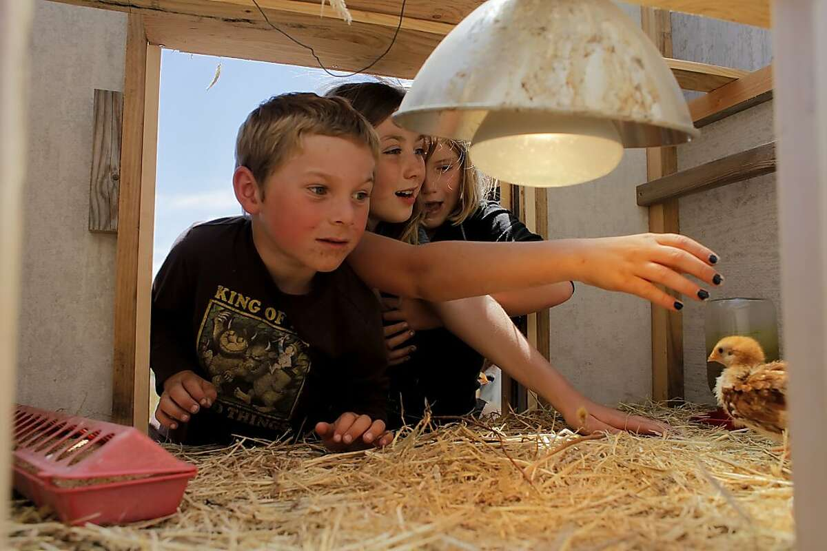 Julian Steckler, left Jasmine Jones and Ava Toomey-Cordeiro looks to pick up one of the baby chicks, at the Windy Hollow Farm summer camp, Thursday June 30, 2011 in Point Arena, Calif.