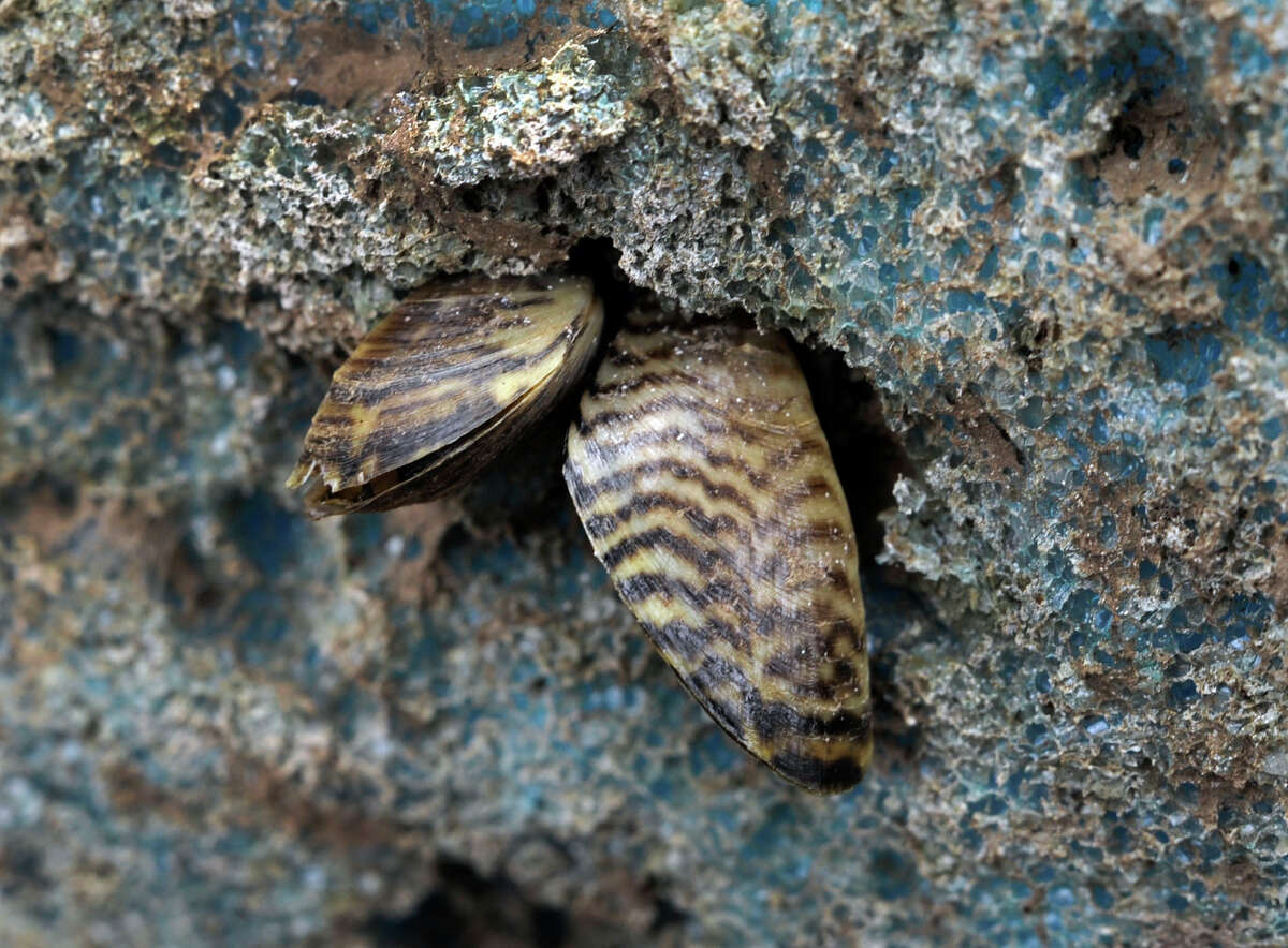 This is a closeup of the zebra mussels attached to the flotation material on a dock owned by Scott Conant of Newtown, Monday, Nov. 12, 2012.