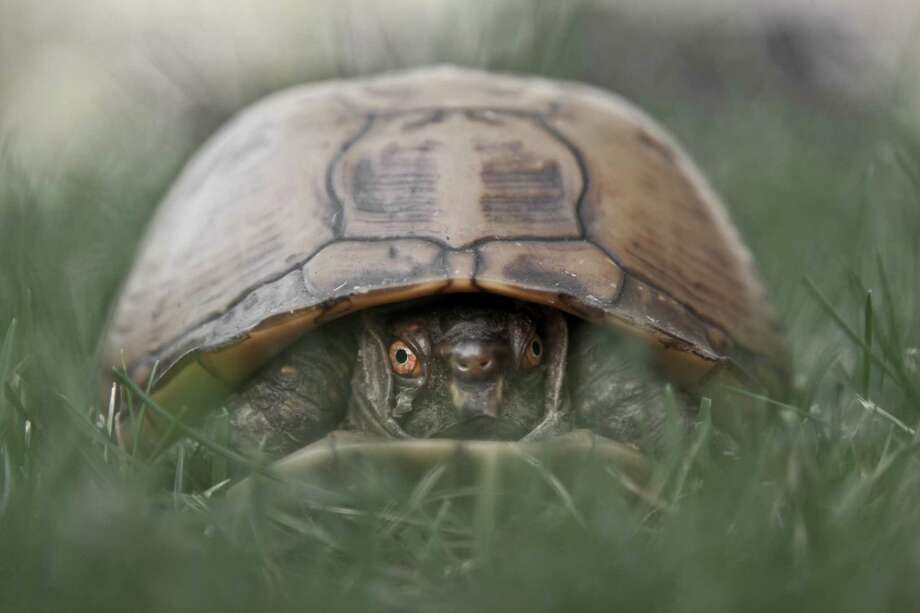 An eastern box turtle, similar to those allegedly smuggled to Hong Kong by a Gold Bar man. Photo: Christopher Kimmel, Getty Images / Flickr RF