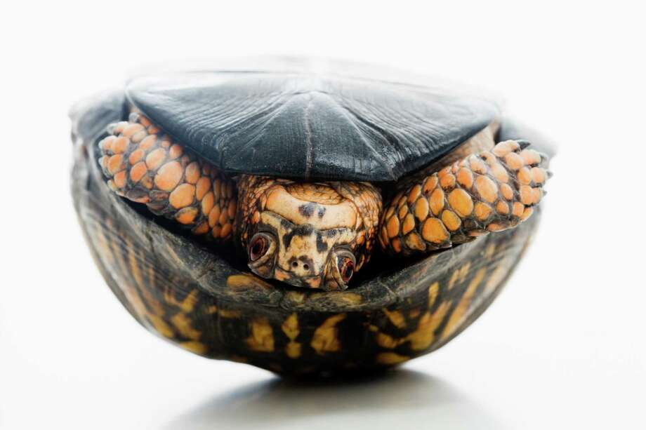 An eastern box turtle, similar to those allegedly smuggled to Hong Kong by a Gold Bar man. Photo: Jose Luis Pelaez, Getty Images / (c) Jose Luis Pelaez