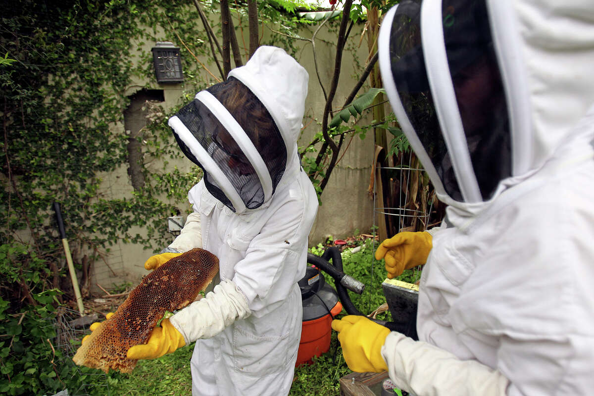 Chloe River (left) and Jamee Snider of Central Texas Bee Rescue remove a hive that was in a wall at a home on the West Side. Company owner Walter Schumacher said there were several hundred thousand bees in the hive.