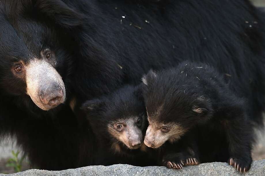 BROOKFIELD, IL - MAY 08:  Hani, a 10-year-old sloth bear, wanders her enclosure with her two cubs at the Brookfield Zoo on May 8, 2013 in Brookfield, Illinois. The cubs, which have been held in a maternity den since their birth on January 20, were making their public debut today at the zoo.  (Photo by Scott Olson/Getty Images) Photo: Scott Olson, Getty Images