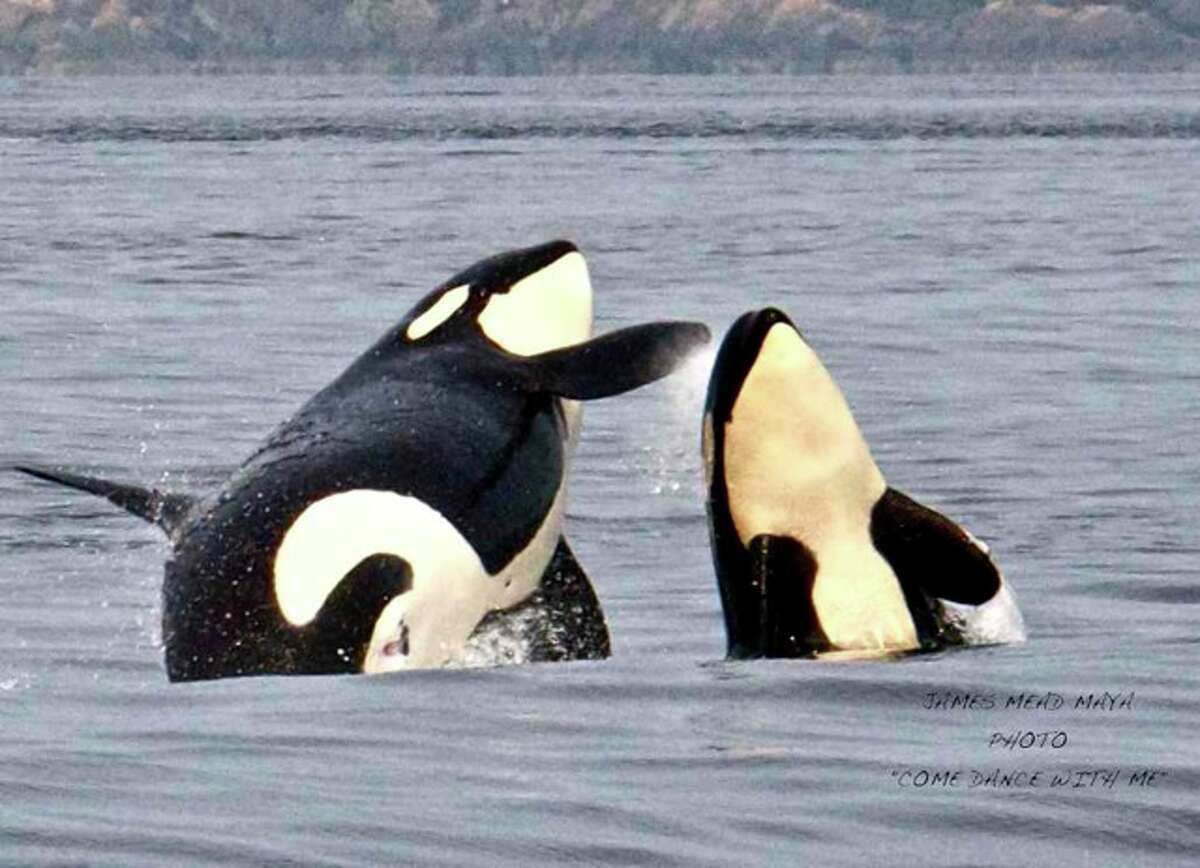 Resident orcas having fun at Boundary Pass, San Juan Islands, in August.