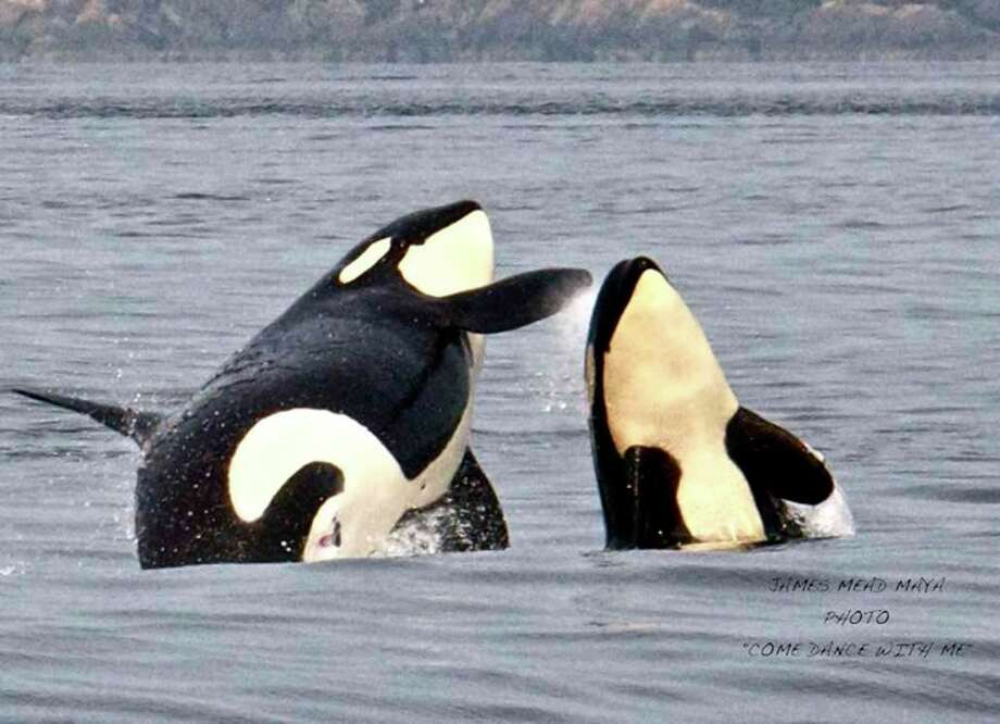 Resident orcas having fun at Boundary Pass, San Juan Islands, in August. Photo: Captain Jim Maya/www.mayaswhalewatch.biz