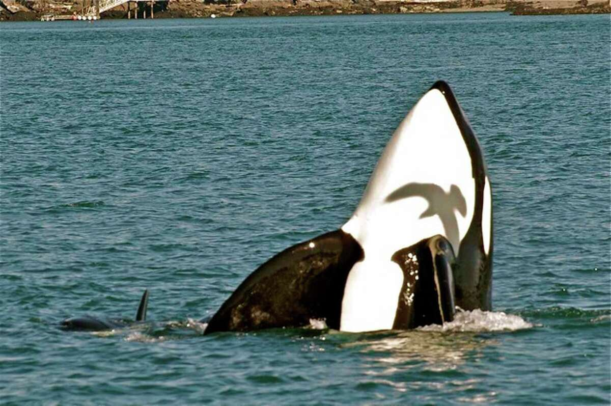 Transient orcas eating a seal in San Juan Channel, north of Friday Harbor in March.