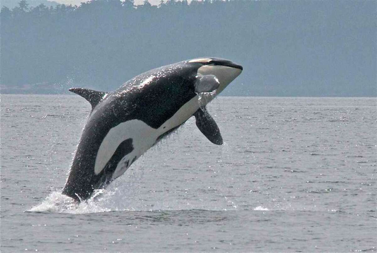 A resident orca having fun breaching in the wake of a freighter at Boundary Pass, San Juan Islands, in August.