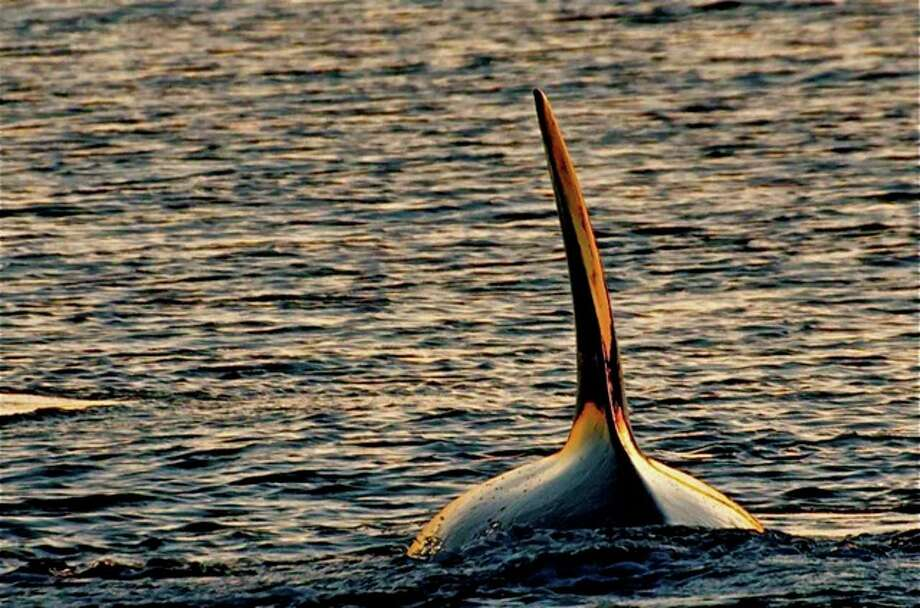 Lighting is everything, almost. Transient Orca, Speiden Island in April. Photo: Captain Jim Maya/www.mayaswhalewatch.biz