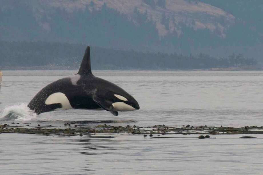 Transient Orca after a seal at  Cooper's Reef, BC, in September. Photo: Captain Jim Maya/www.mayaswhalewatch.biz