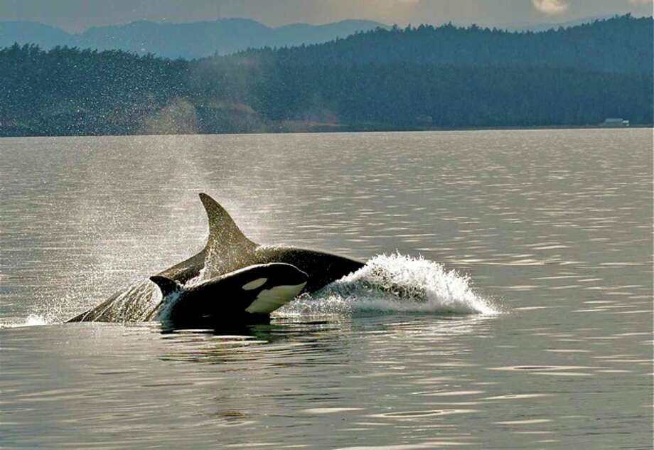 A transient female and calf spotted near Speiden Island, San Juan Islands, in December of last year. Photo: Captain Jim Maya/www.mayaswhalewatch.biz