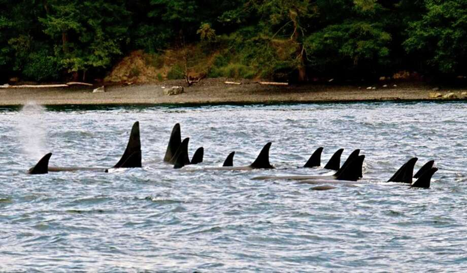 Resting L Pod at Henry Island, San Juan Islands, in July. Photo: Captain Jim Maya/www.mayaswhalewatch.biz