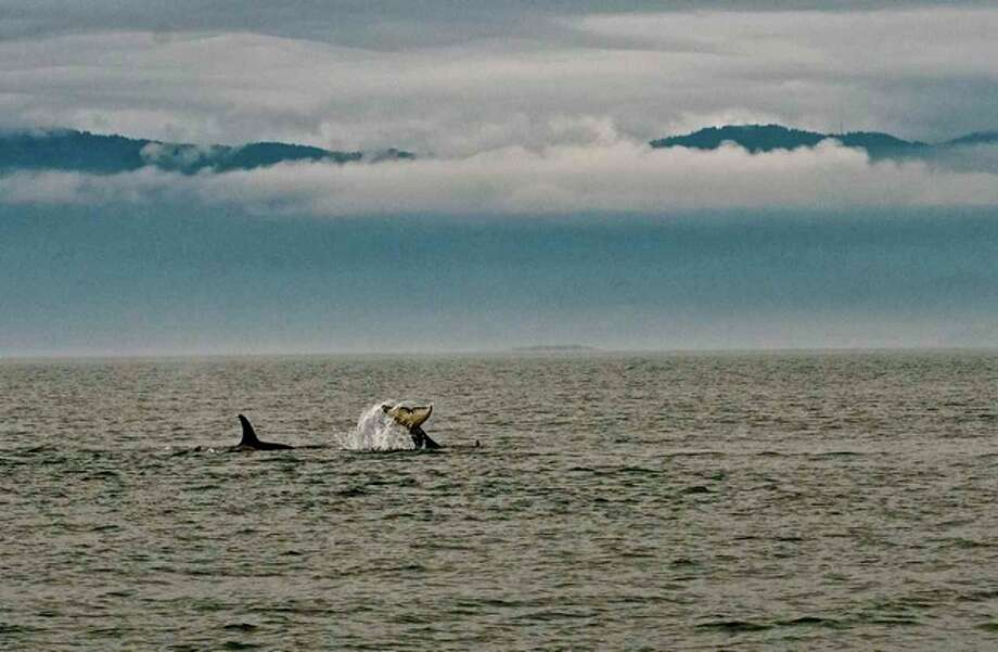 Resident Orcas and the Olympic Mountains in May. Photo: Captain Jim Maya/www.mayaswhalewatch.biz