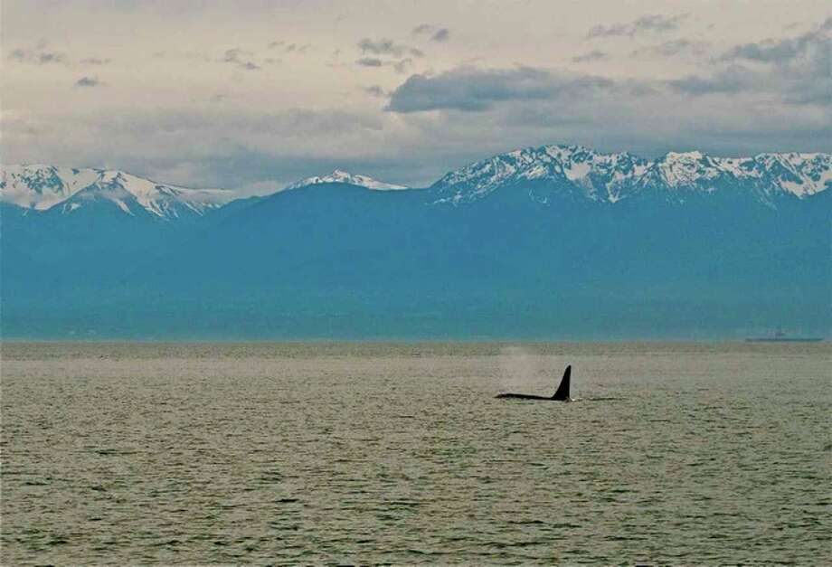 A resident swimming the Strait of Juan de Fuca in front of the Olympic Mountains in June. Photo: Captain Jim Maya/www.mayaswhalewatch.biz