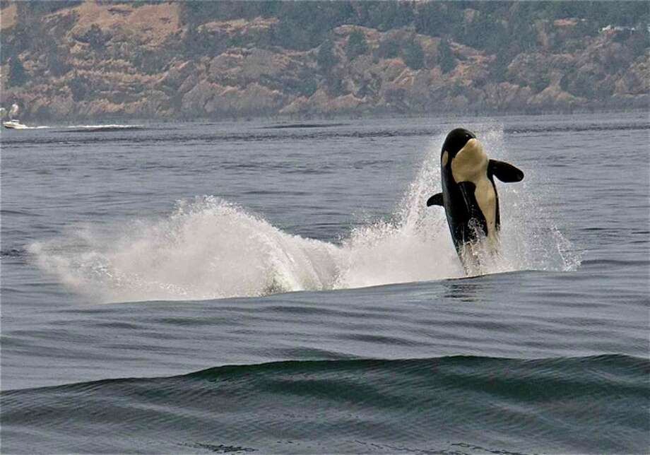A resident orca surfing the wake of a freighter at Boundary Pass, San Juan Islands, in August. Photo: Captain Jim Maya/www.mayaswhalewatch.biz
