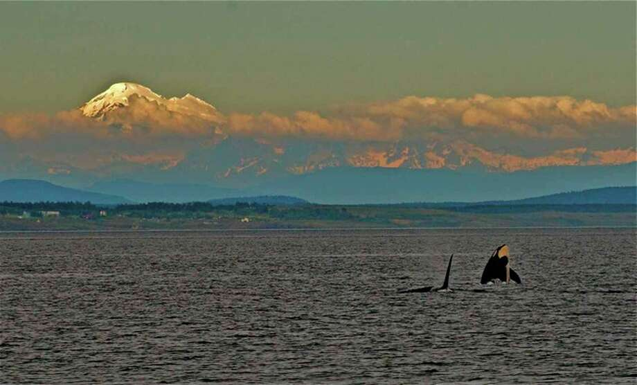 Part of resident orcas, J Pod, shown with Mt. Baker in June. Photo: Captain Jim Maya/www.mayaswhalewatch.biz