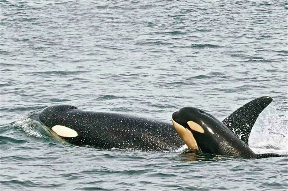 Resident mom and calf in the Haro Strait, San Juan Islands, in June. Photo: Captain Jim Maya/www.mayaswhalewatch.biz