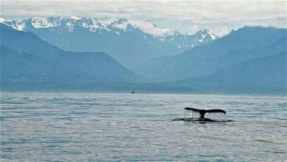A humpback makes an appearance near Elwha Valley, Strait of Juan de Fuca, in July. Photo: Captain Jim Maya/www.mayaswhalewatch.biz