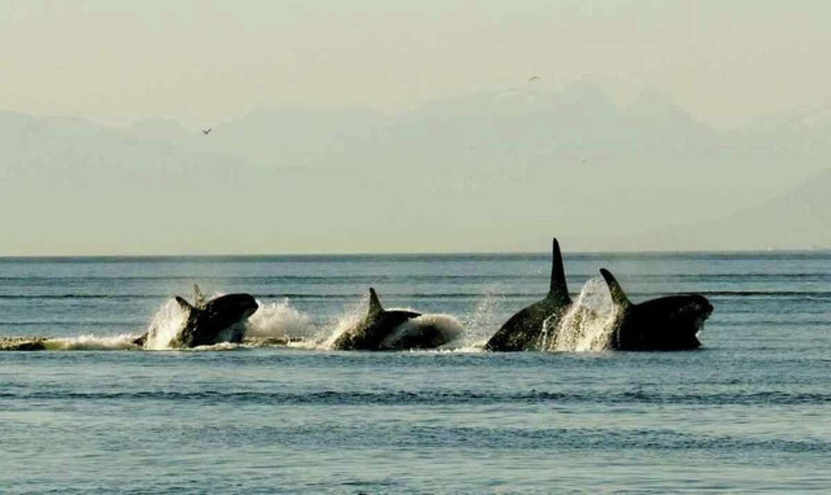 Resident orcas racing north in the Strait of Georgia, north of Patos Island, San Juan Islands. Construction of a huge Canadian oil pipeline would send 34 laden oil tankers past Patos Island each month.