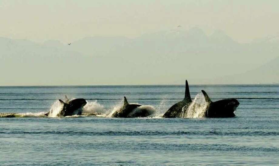 The path of 400 oil tankers a year: Resident orcas racing north in Haro Strait, north of Patos Island, San Juan Islands. Photo: Captain Jim Maya/www.mayaswhalewatch.biz