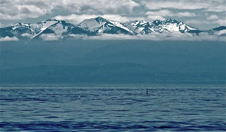 Resident orcas in the Strait of Juan de Fuca in June with the Olympic Mountains in the back. Photo: Captain Jim Maya/www.mayaswhalewatch.biz