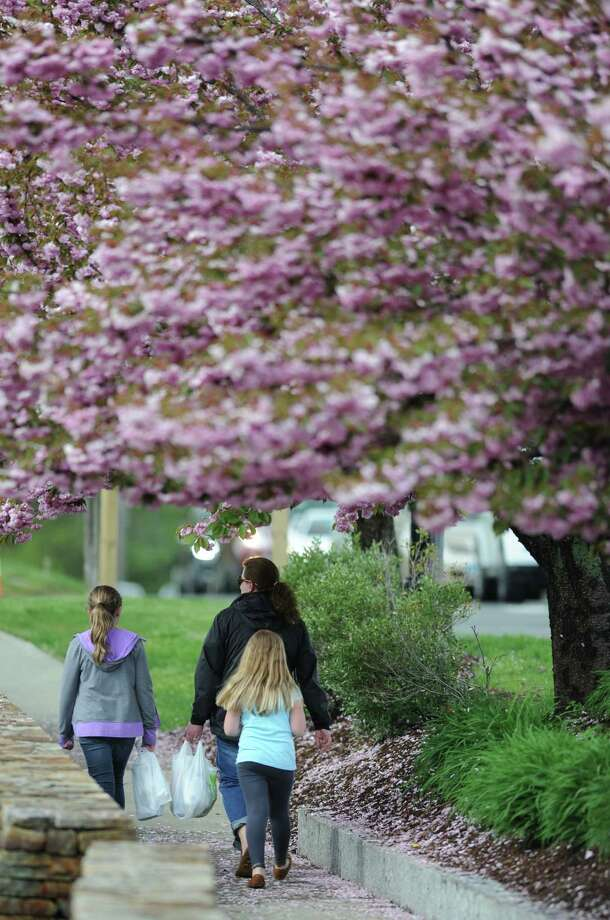 Passersby walk beneath a row of cherry blossom trees along Danbury Road in Ridgefield, Conn. on Thursday, May 9, 2013.  Cherry blossoms typically bloom in early spring and this year's peak bloom was one month ago on April 9. Photo: Tyler Sizemore / The News-Times