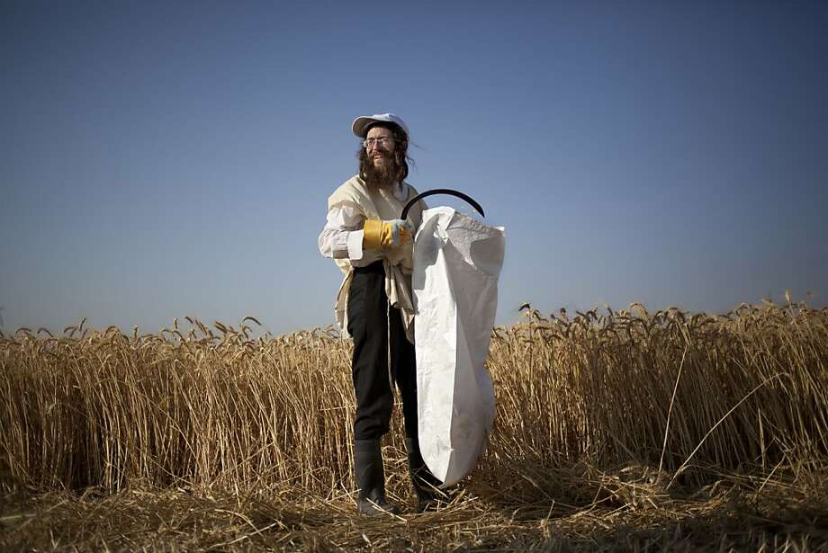 An Ultra Orthodox Jewish man harvests wheat ahead of the holiday of Shavuot, in a field outside the Israeli community of Mevo Horon, Thursday, May 9, 2013. The Jewish holiday of Shavuot, commemorating Moses receiving the Ten Commandments and also a harvest holiday, begins next Monday sundown.  Photo: Ariel Schalit, Associated Press