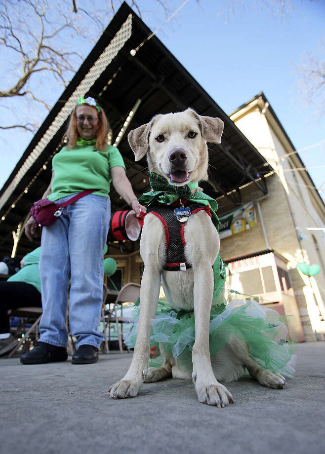 """Thurber"" stands in his Irish garb with owner Christine Saalbach. Photo: Tom Reel / S.A. Express-News"