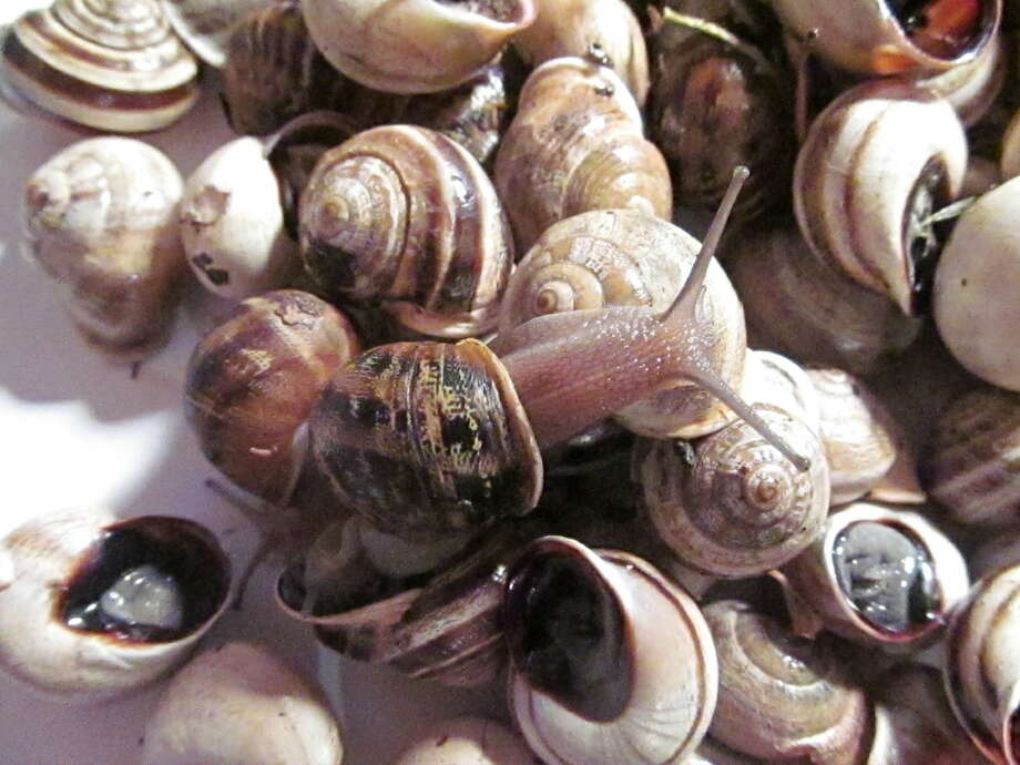 These snails are not native to Texas, but they have developed wild populations in the state, said Texas Parks and Wildlife Biologist Michael Warriner. Photo: None