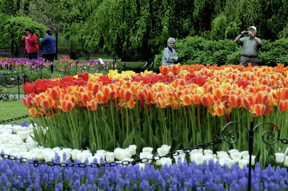 Tulips in prime viewing state at Washington Park on Thursday May 9, 2013 in Albany N.Y. (Michael P. Farrell/Times Union) Photo: Michael P. Farrell, Albany Times Union