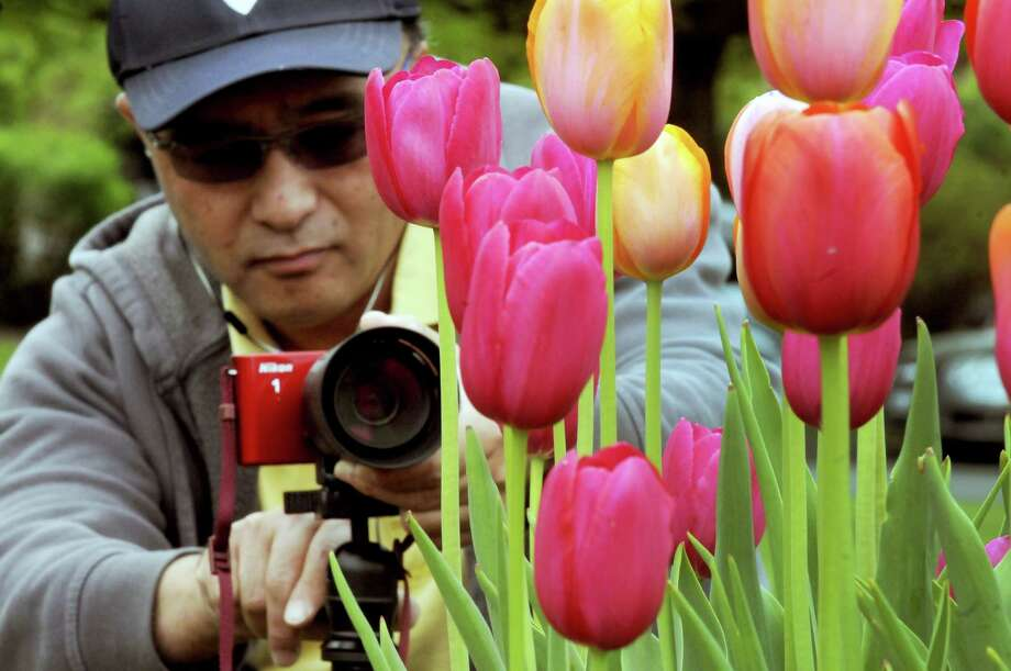 Philip Yin of Albany photographs tulips at Washington Park on Thursday May 9, 2013 in Albany N.Y. (Michael P. Farrell/Times Union) Photo: Michael P. Farrell, Albany Times Union