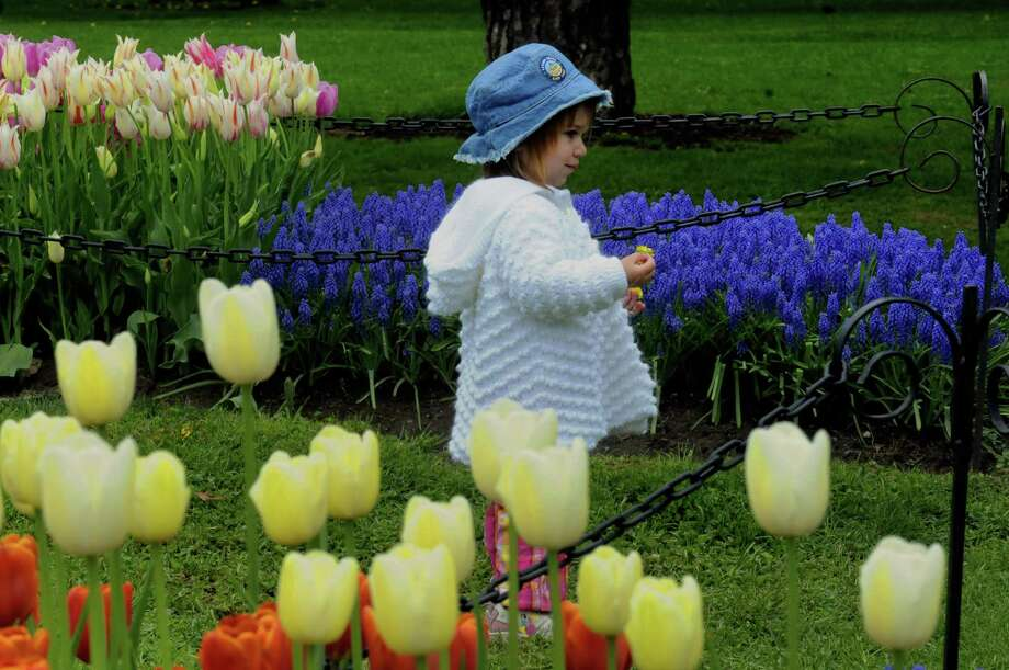 Two-year-old Darya Mooradian of Latham holds a dandelion as she views the tulips at Washington Park on Thursday May 9, 2013 in Albany N.Y. (Michael P. Farrell/Times Union) Photo: Michael P. Farrell, Albany Times Union