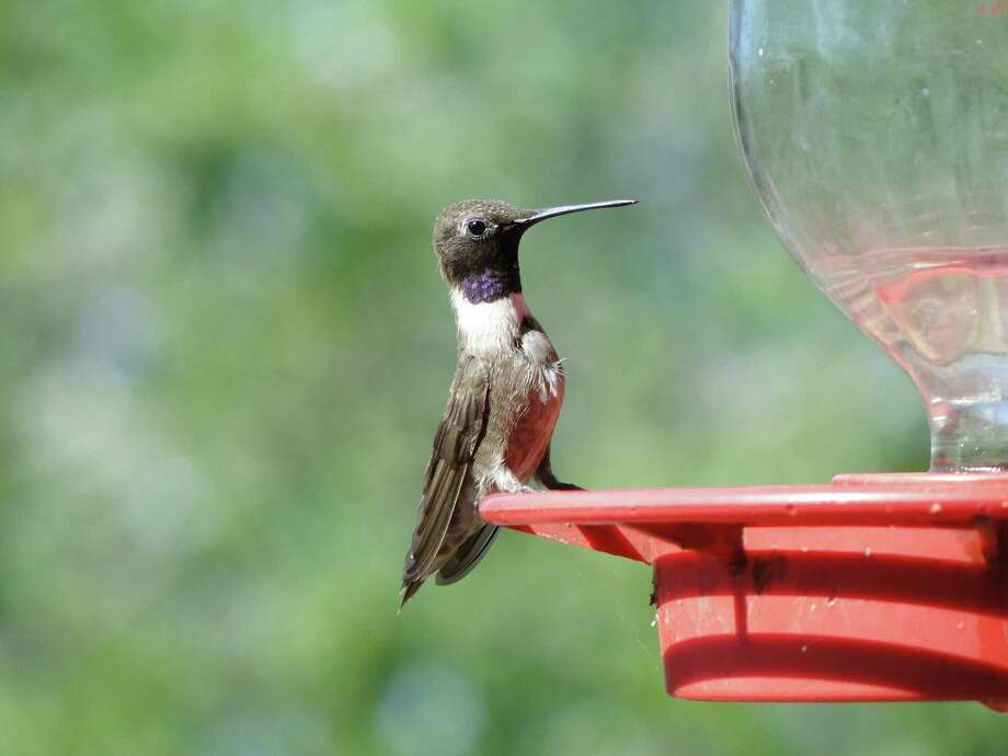 Black-chinned hummingbirds are in the area to nest and will visit feeders and their favorite nectar flowers. Photo: Tracy Hobson Lehmann / San Antonio Express-News