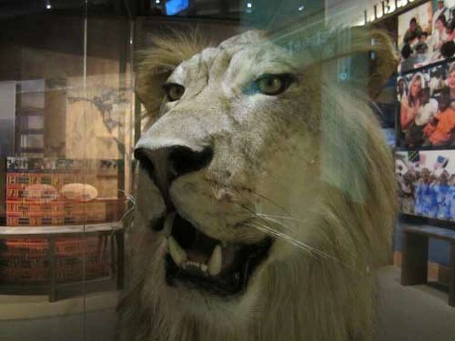 A stuffed lion, a gift from Tanzania to the Bush administration, is on display at the George W. Bush Presidential Library and Museum in Dallas. Staff/David Hendricks