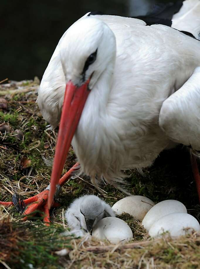 Well, look what the human brought: A stork watches over a newly hatched chick in its nest at an animal park in 